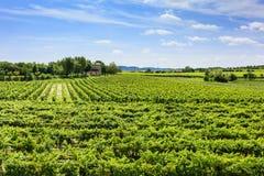 Green vineyard under blue sky Royalty Free Stock Image