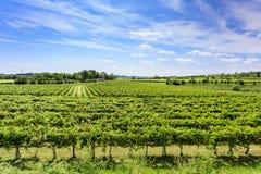 Green vineyard under blue sky Royalty Free Stock Photography