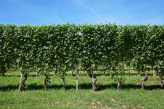 Green vineyard, vine hedge in a sunny day, blue sky Royalty Free Stock Images