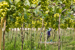 Green vineyards. Planting green grapes in the tropics, Thailand Stock Photo