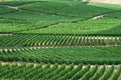 Green vineyards Stock Image