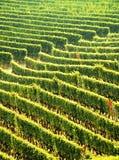 Green vineyards stock photography