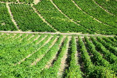 Green vineyards. Scenic view of green vineyards in Roussilon region of France Royalty Free Stock Photography