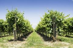 Green Vineyards Stock Photos