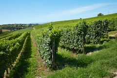 Green vineyards on hill, blue sky Royalty Free Stock Photography