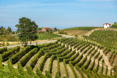 Green vineyards on the hills of Piedmont, Italy. Royalty Free Stock Photos