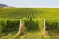 Green vineyards in Mikulov Royalty Free Stock Photo