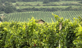 Green Vineyards with Old house Stock Photography