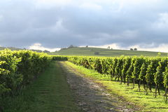 Green vineyards Stock Images