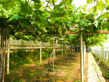 Green vineyards. Pic of green vineyards in thailand Stock Image