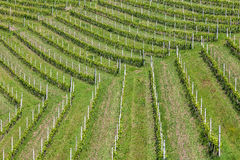 Green vineyards in Piedmont, Italy. Royalty Free Stock Image