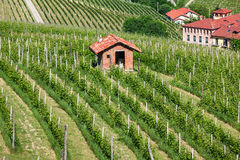 Green vineyards of Piedmont. Stock Image