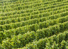 Green vineyards at the river Moselle Royalty Free Stock Photos