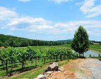 Green vineyards in summer Stock Photos