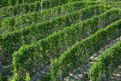 Green vineyards in a sunny day royalty free stock images