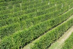 Green vineyards in a sunny day, high angle view Royalty Free Stock Photo