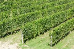Green vineyards in a sunny summer day. In Europe royalty free stock images