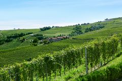 Green vineyards in a sunny summer day in Italy. Green vineyards and hills in a sunny summer day in Italy royalty free stock photography