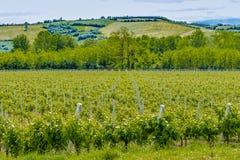 Green vineyards. Unripe vineyards in Italian Spring stock photo