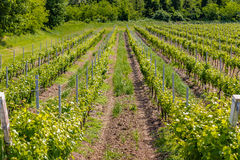 Green vineyards. Unripe vineyards in Italian Spring stock photos