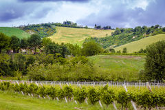 Green vineyards. Unripe vineyards in Spring on Italian hills royalty free stock photo