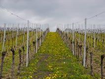 Vine-yard spring Stock Image