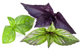 Green and violet basil leaves isolated on a white. Stock Photo
