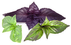 Green and violet basil leaves on a white. Stock Image