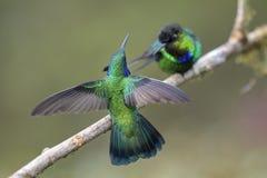 Green Violet-ear - Colibri thalassinus royalty free stock image