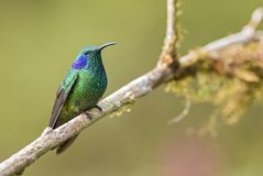 Green Violet-ear - Colibri thalassinus. Beautiful green hummingbird from Central America forests, Costa Rica stock image