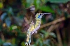 Green violet-ear Colibri thalassinus Royalty Free Stock Image