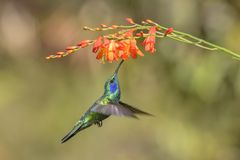 Green Violet-ear - Colibri thalassinus. Beautiful green hummingbird from Central America forests, Costa Rica royalty free stock photography