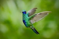 Green Violet-ear, Colibri thalassinus, green hummingbird flying in the nature tropic forest habitat, Savegre, Costa Rica. South America royalty free stock images