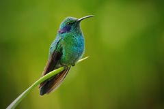Green Violet-ear, Colibri thalassinus, Hummingbird with green leave in natural habitat, Panama Stock Photo