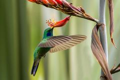 Green violet-ear hovering next to red and yellow flower, bird in flight, mountain tropical forest, Mexico, garden. Beautiful hummingbird sucking nectar, green royalty free stock photo