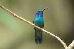 green violet ear hummingbird in a forest Venezuela stock photo
