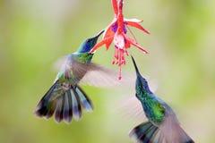 Free Green Violet-ear Hummingbirds  841573 Stock Photos - 169337803