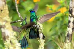 Green violet-ear sitting on branch, hummingbird from tropical forest,Ecuador,bird perching,tiny bird with outstretched wings,clear. Colorful background,nature stock image