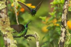 Green violet-ear sitting on branch, hummingbird from tropical forest,Ecuador,bird perching,tiny bird with outstretched wings,clear. Colorful background,nature royalty free stock photography