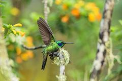 Green violet-ear sitting on branch, hummingbird from tropical forest,Ecuador,bird perching,tiny bird with outstretched wings,clear. Colorful background,nature stock photo