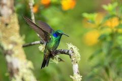 Green violet-ear sitting on branch, hummingbird from tropical forest,Ecuador,bird perching,tiny bird with outstretched wings,clear. Colorful background,nature stock images