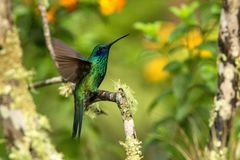Green violet-ear sitting on branch, hummingbird from tropical forest,Ecuador,bird perching,tiny bird with outstretched wings,clear. Colorful background,nature royalty free stock photos