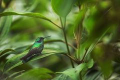 Green violet-ear sitting on leaf, hummingbird from tropical forest,Ecuador,bird perching,tiny bird resting in rainforest,clear col. Orful background,nature stock images
