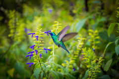 Green Violet Eared Hummingbird. Royalty Free Stock Photography