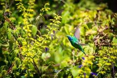 Green Violet Eared Hummingbird. Stock Photos