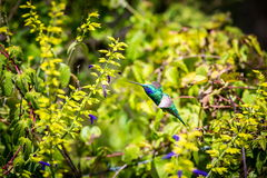 Green Violet Eared Hummingbird. Stock Image