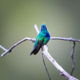 Green Violet Eared Hummingbird. Royalty Free Stock Image
