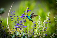 Green Violet Eared Hummingbird. The incredibly beautiful Green Violet Eared Hummingbird in the central mountains of Mexico. This is a rare picture of a medium stock photography