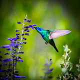 Green Violet Eared Hummingbird. Royalty Free Stock Photos