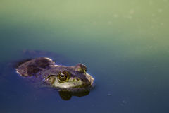 Green and Violet Frog on Body of Water Royalty Free Stock Images